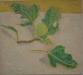 piccolo-fico-verde-2013-22-x-195